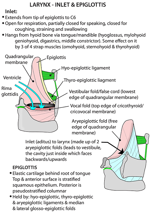 Instant Anatomy - Head and Neck - Areas/Organs - Larynx - Inlet and ...