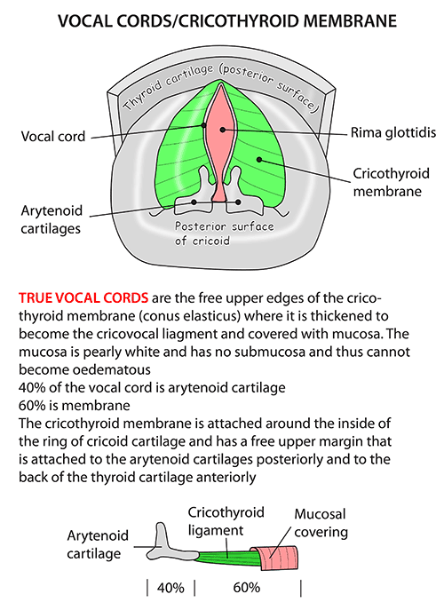 Instant Anatomy - Head and Neck - Areas/Organs - Larynx - Vocal ...
