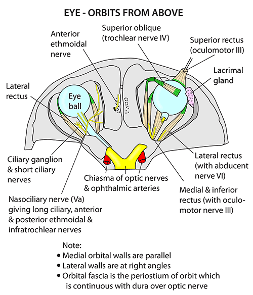 Instant Anatomy - Head and Neck - Areas/Organs - Eye & orbit - View ...