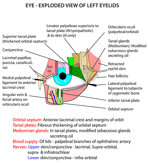 Anatomy of organs in the body