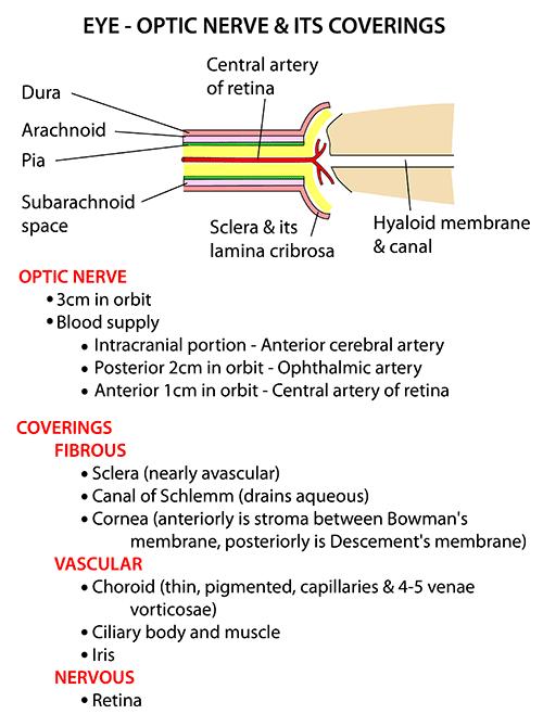 Optic Nerve Anatomy Co...
