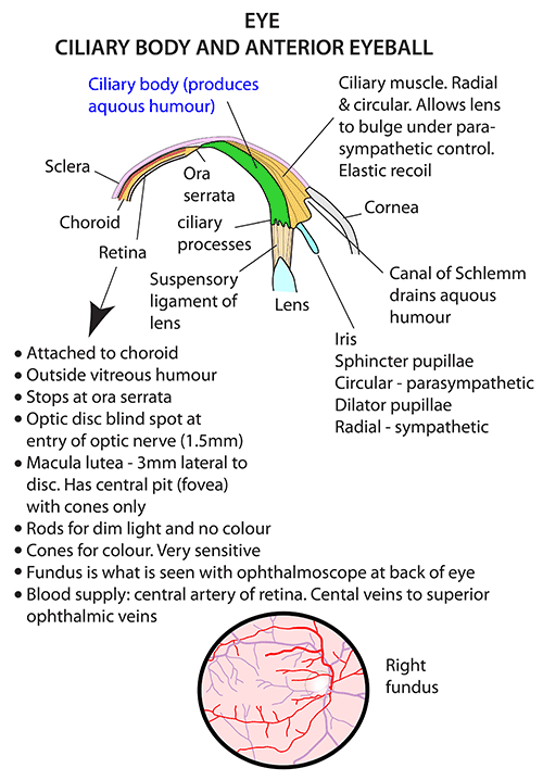 Anatomy Of Ciliary Body Essentials Of Photo Gallery In Website With ...