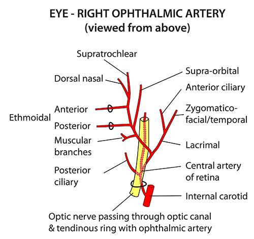 instant anatomy head  neck vessels arteries
