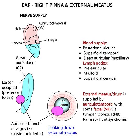 Instant Anatomy Head And Neck Areasorgans Ear Pinna