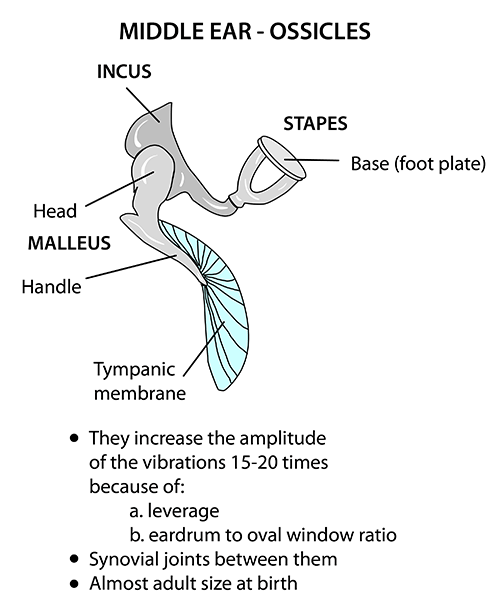 instant anatomy head and neck areas  organs ear ossicles What Are the Ossicles of the Ear Ear Anatomy Diagram