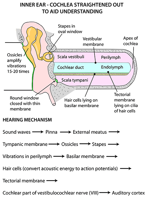 Instant Anatomy - Head and Neck - Areas/Organs - Ear - Cochlea ...