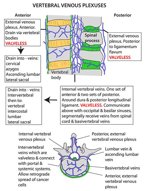 Instant Anatomy - Head and Neck - Vessels - Veins - Vertebral venous ...