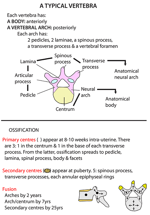 Instant Anatomy Head And Neck Areasorgans Vertebral Column