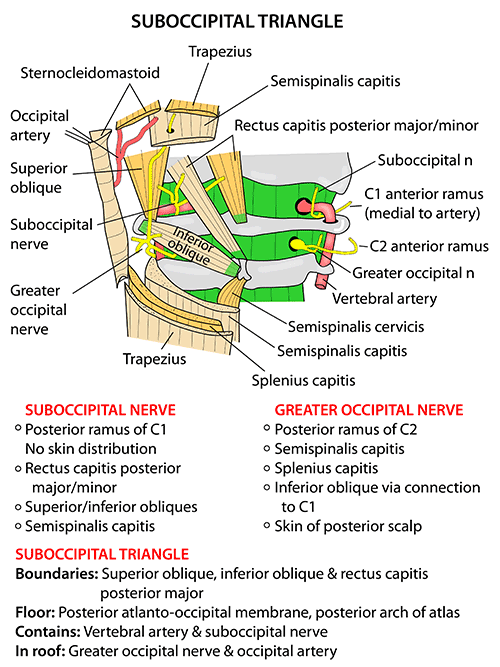 Instant Anatomy - Head and Neck - Areas/Organs - Vertebral column ...