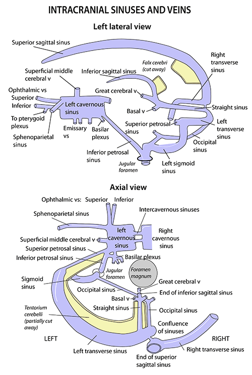 Instant Anatomy - Head and Neck - Areas/Organs - Meninges ...
