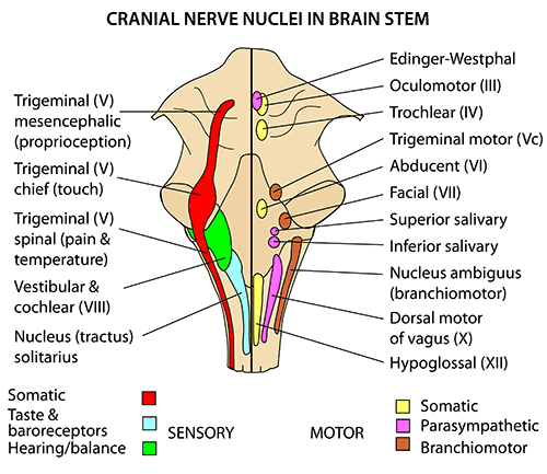 Instant Anatomy Head And Neck Nerves Cranial Nuclei In Brain