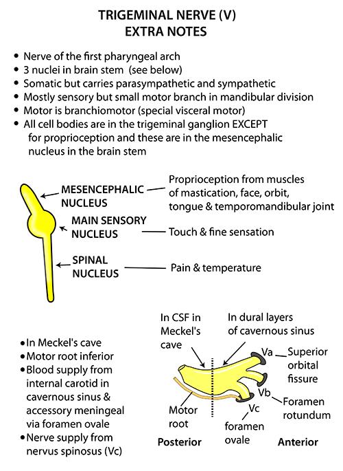 Instant Anatomy - Head and Neck - Nerves - Cranial - V Ganglia and ...