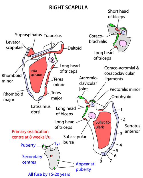 instant anatomy - upper limb - muscles - scapula, Human Body