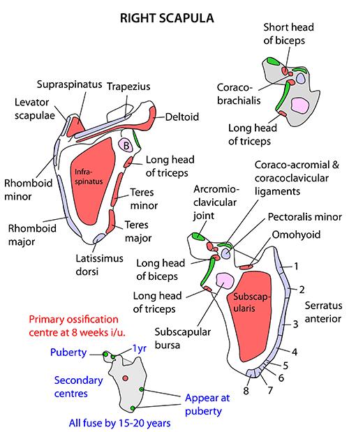 Instant Anatomy - Upper Limb - Muscles - Scapula
