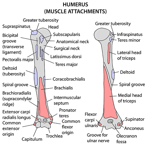 Instant Anatomy - Upper Limb - Muscles - Humerus