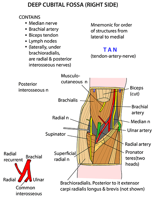 Instant Anatomy - Upper Limb - Areas/Organs - Cubital Fossa - Deep