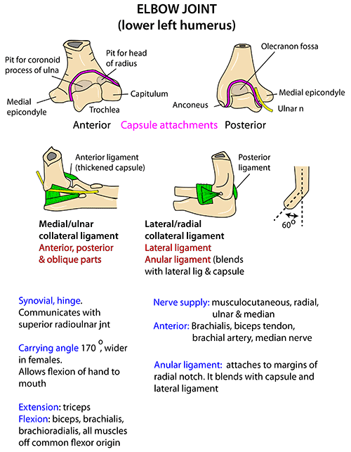 Instant Anatomy - Upper Limb - Joints - Elbow