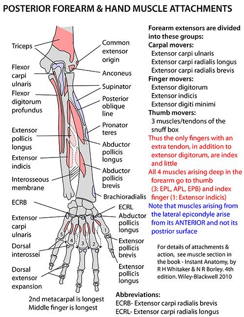 Instant Anatomy - Upper Limb - Areas Organs - Forearm - Posterior