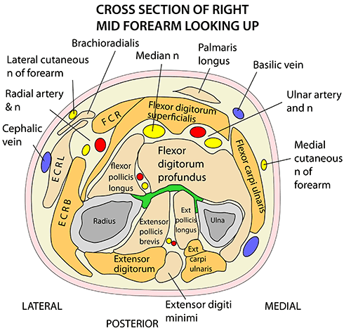 Instant Anatomy - Upper Limb - Areas/Organs - Forearm - Anterior ...