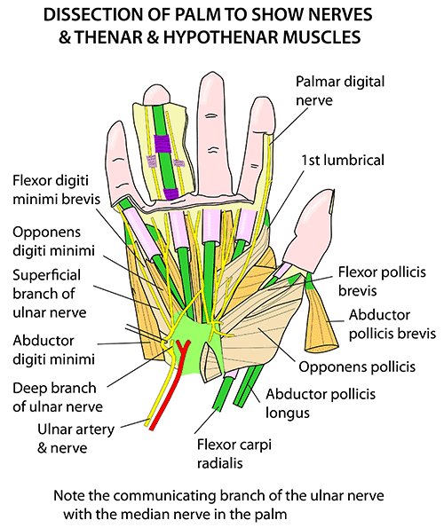 Instant Anatomy - Upper Limb - Areas/Organs - Hand - Palm and ...