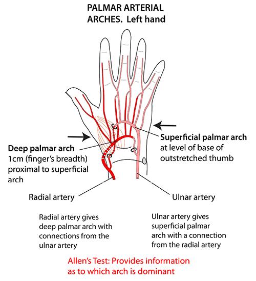 Instant Anatomy Upper Limb Areasorgans Hand Palmar Arterial