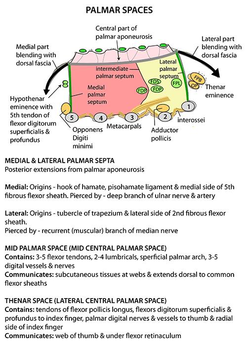 Instant Anatomy - Upper Limb - Areas/Organs - Hand - Palmar spaces
