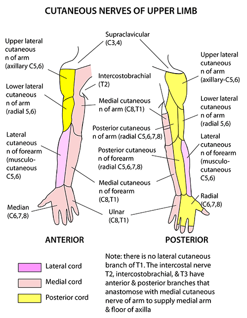 Instant Anatomy Upper Limb Nerves Skin Cutaneous Supply