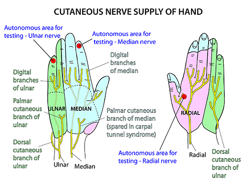 Instant Anatomy Upper Limb Nerves Skin Dermatomes