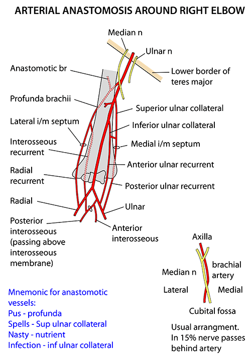 Instant Anatomy Upper Limb Vessels Arteries Elbow Brachial