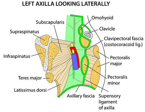 Anatomy of left side of body
