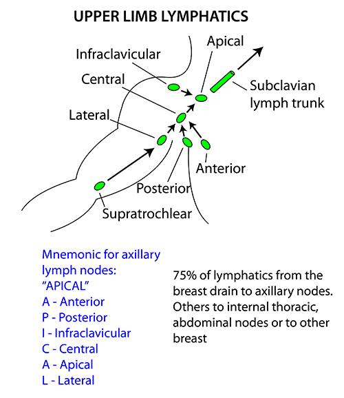 Axillary Node Diagram Wiring Diagram
