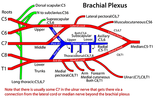 brachial plexus schematic - photo #19