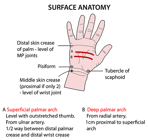 Instant Anatomy Upper Limb Surface Palm Of Hand