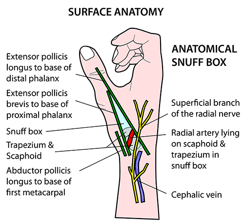 Anatomical snuff box anatomy