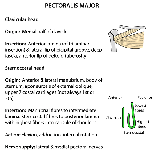 Instant Anatomy - Upper Limb - Muscles - Pectoralis major