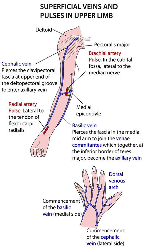 Arm Veins Diagram http://www.instantanatomy.net/arm/vessels/superficial.html