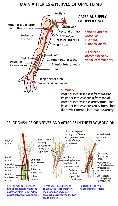 Instant Anatomy Upper Limb Vessels Arteries Patterns