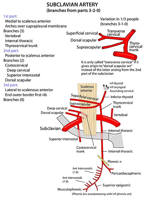 Anatomy subclavian artery