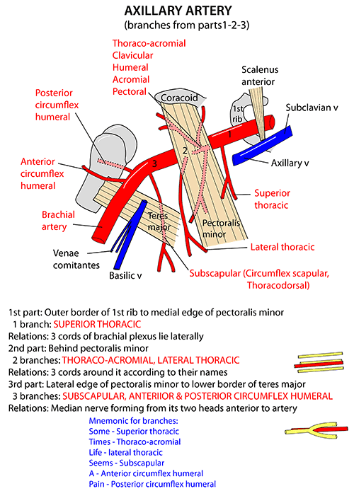 Instant Anatomy Upper Limb Vessels Arteries Axillary Artery