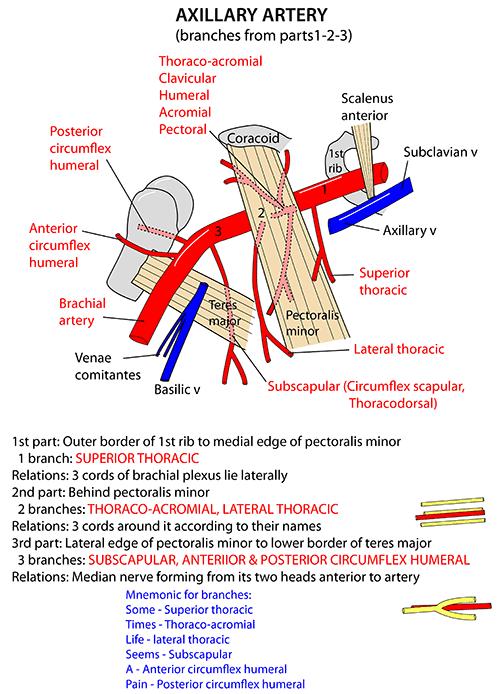 instant anatomy - upper limb - vessels - arteries - axillary artery, Human Body