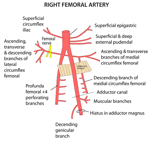 Instant Anatomy Lower Limb Vessels Arteries Femoral Artery