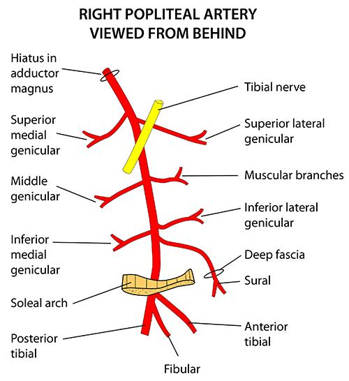 instant anatomy  limb vessels arteries popliteal