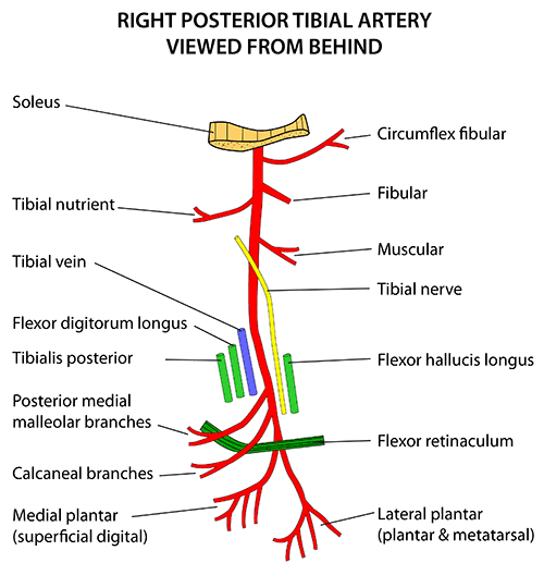 Instant Anatomy Lower Limb Vessels Arteries Posterior Tibial