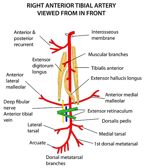 Instant Anatomy - Lower Limb - Vessels - Arteries - Anterior tibial ...