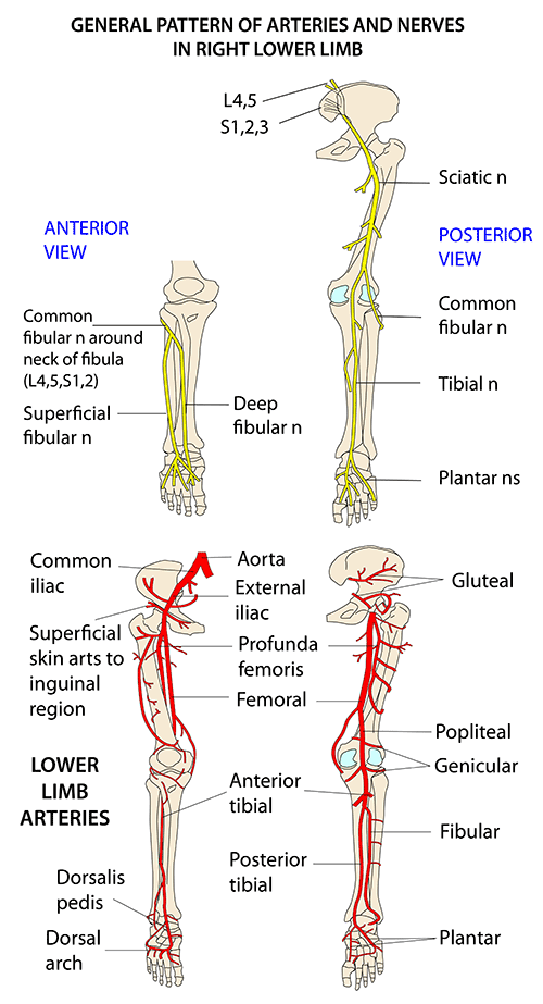 Instant Anatomy - Lower Limb - Vessels - Arteries - General patterns