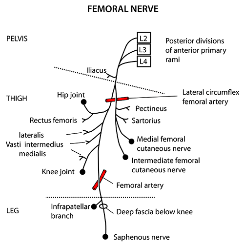 instant anatomy - lower limb - nerves - femoral, Muscles
