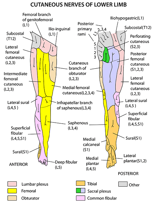 Instant Anatomy - Lower Limb - Nerves - Cutaneous supply general
