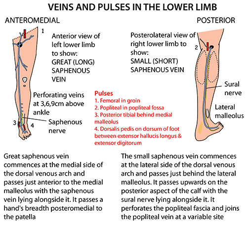 Instant Anatomy - Lower Limb - Vessels - Veins - Superficial