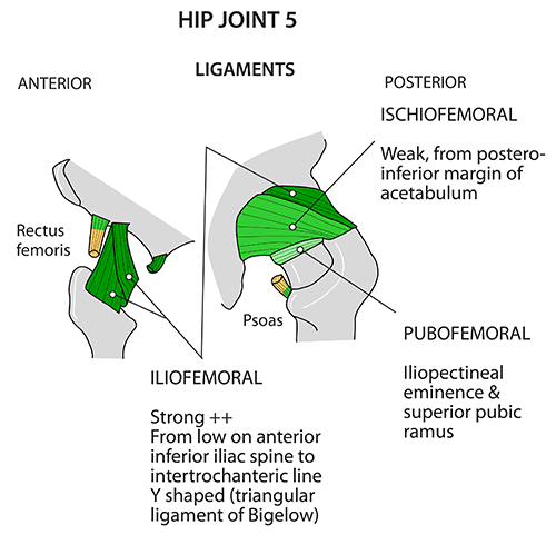 Instant Anatomy Lower Limb Joints Hip Ligaments