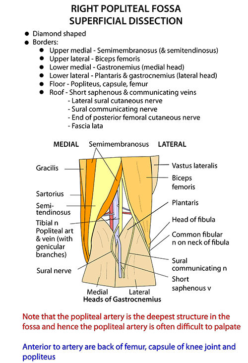 Instant Anatomy - Lower Limb - Areas/Organs - Popliteal Fossa ...